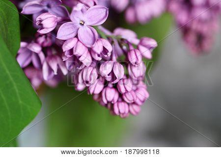 Beautiful spring flower bush lilac on a grassy meadow