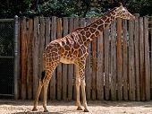 Reticulated giraffe poster