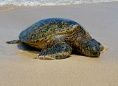 Sea Turtle resting on the beach in Hawaii poster