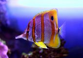 Colourful Sixspine butterflyfish floats in an aquarium poster