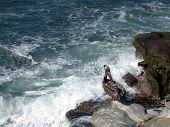 pelican preening on cliffs of la jolla, california. poster