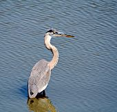 A great blue heron wading in the mississippi river poster