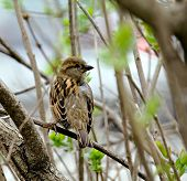 House sparrow perched on a tree branch poster