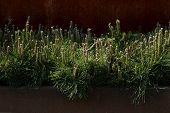Decorative mountain pine. Pinus mugo, dwarf cultivar pine, outdoor design. poster