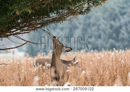 White-tailed deer (Odocoileus virginianus) eating tree branch on cold winter day. poster