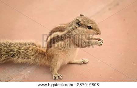 Squirrel. A Close-up Image Of A Squirrel Holding A Tiny Or Small Piece Of Chocolate Cake In Her Hand