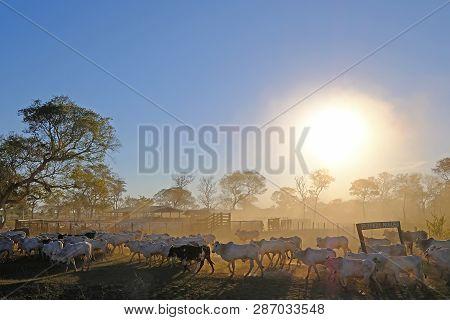 Cows On A Farm With Sign Fazenda Paraiso - Paradise Farm Portuguese Text, Along The Transpantaneira