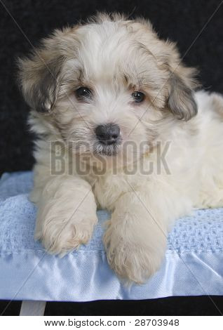 Cute Malti-poo Puppy