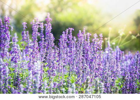 Beautiful Blooming Purple Salvia (blue Sage) Flower Field In Outdoor Garden.blue Salvia Is Herbal Pl