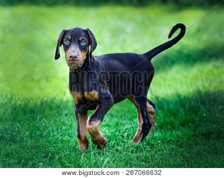Young Black Doberman Puppy On Green Grass