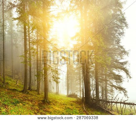 Forest. Landscape With Misty Mountain Conifer Forest In Spring