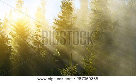 Sunbeams In Spring Conifer Forest In Highland