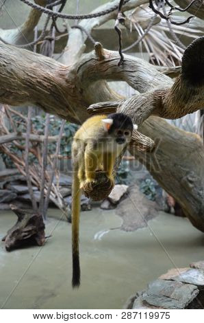 The Black-capped Squirrel Monkey (saimiri Boliviensis) Is A South American Squirrel Monkey, Found In