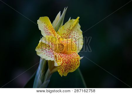 Canna Indica Flowers Blooming Away In A Soft Green Background In The Garden