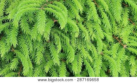 Fresh Green Spruce Conifer Branches Close Up, Organic Texture