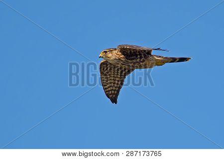 A Merlin Falcon In Flight Against Blue Sky