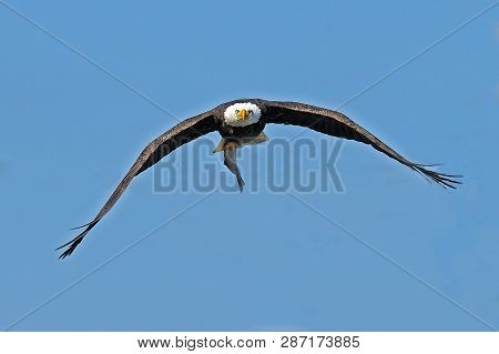 A Bald Eagle In Flight With Large Fish