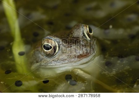 Common Frog - Rana Temporaria Close-up In Garden Pond With Frog Spawn