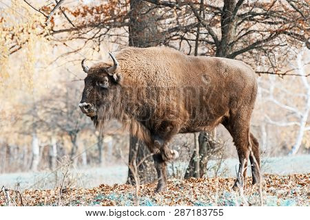 Side View Of A Big Wisent Or European Bison (bison Bonasus). Teal And Orange Photo Filter.