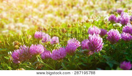 Summer meadow landscape. Pink flowers of summer clover lt by warm sunlight - summer sunset landscape. Selective focus at the flowers