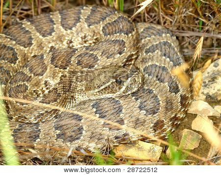 Prairie Rattlesnake - South Dakota