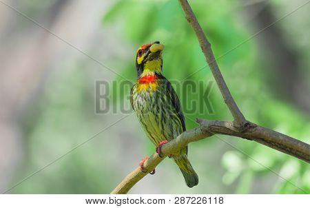 Bird (coppersmith Barbet Crimson-breasted Barbet Coppersmith Megalaima Haemacephala)