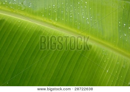Texture And Pattern Detail Banana Leaf