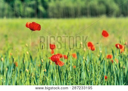 Poppy Flowers On A Rural Field. Vivid Agricultural Background On A Sunny Day