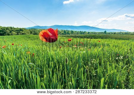 Poppy On A Rural Field In Mountains. Blurred Background With Forested Hills And Mountain In The Dist