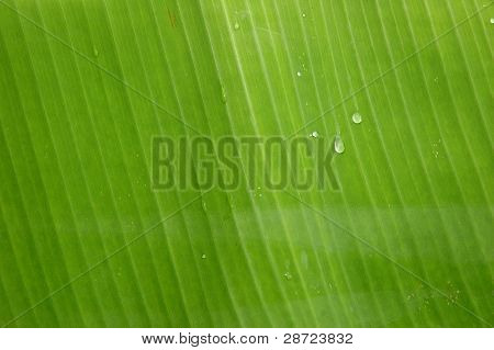 texture and pattern detail banana leaf with water droplets in the morning dew poster