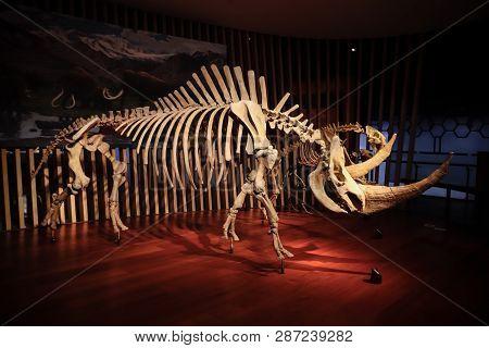 Shanghai, China - April 13 2018, Fossil Of Woolly Rhinoceros (coelodonta Antiquitatis) At Shanghai N