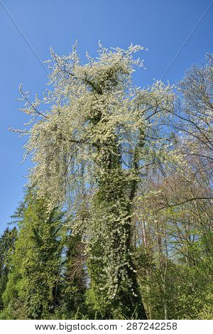 Old Tree Overgrown With White Spring Blossoms
