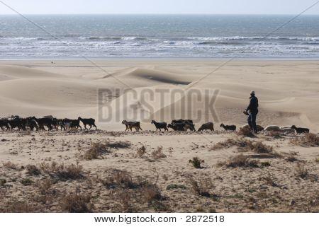 Sand Dune Beach Goat Herd