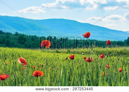 Poppy Flowers On A Rural Field In Mountains. Blurred Background With Forested Hill In The Distance.