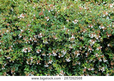 Linnaea Grandiflora Or Abelia Grandiflora Or Glossy Abelia Dense Semi Evergreen Shrub With Arching B