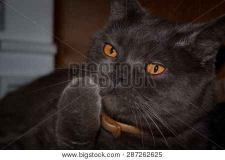 Young Solid Black Scottish-fold Cat With A Discontented Face. Condemning Look Of A Cat With Yellow E