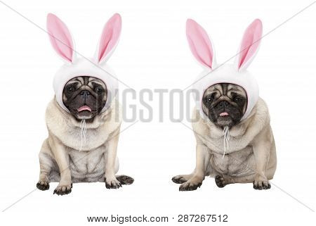 Funny Little Easter Pug Puppy Dogs, Sitting Down, Wearing Easter Bunny Cap With Ears, Isolated On Wh
