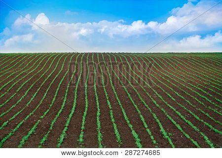 A Field Of Young Soybean Sprouts. Rows Of Soybean Plants Growing In A Field Against The Background O