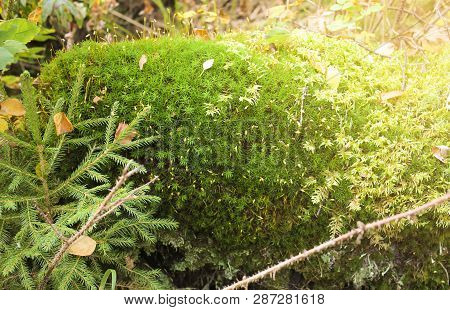Beautiful Moss And Lichen Covered Stone. Bright Green Moss Background. Saturated Green Abstract Patt