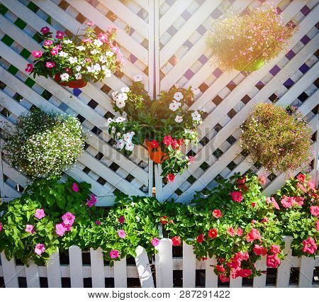 Flower Pots Hanging Decorate On White Wall And Petunia Colorful Flowers In The Spring Garden Blossom
