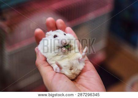 Cute Hungry Female Winter White Dwarf Hamster (winter White Dwarf, Djungarian, Siberian Hamster) Is