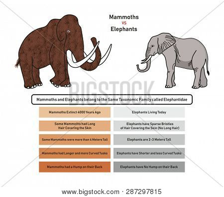 Mammoths vs Elephants Comparison infographic diagram including extinction availability skin covering height tusks and back hump for biology and historical science education poster