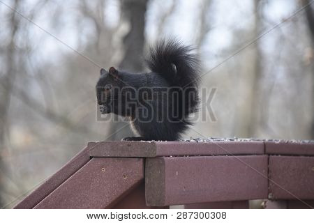 Black Squirrel Eating Birdseed On A Back Porch Deck Railing In Winter