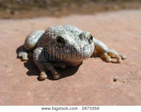 Toad In Desert