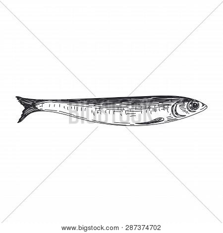 Beautiful Vector Hand Drawn Lavender Fish Illustration. Detailed Retro Style Anchovy Image. Vintage
