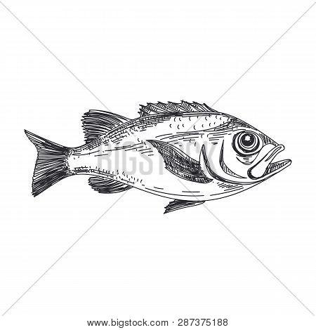 Beautiful Vector Hand Drawn Lavender Fish Illustration. Detailed Retro Style Redfish Image. Vintage