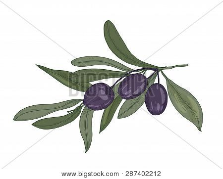 Elegant Botanical Drawing Of Olive Or Olea Europaea Tree Branch With Leaves And Black Fruits Or Drup