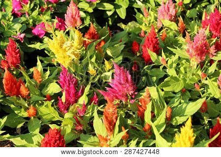 Beautiful Celosia Argentea Flowers In The Garden