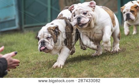 Cute Puppy Of English Bulldog Happily Run