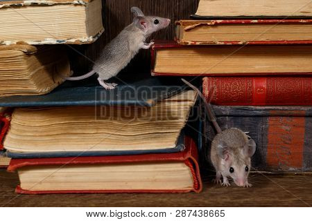 Close-up Two Young Mice On  The Old Books On The Shelf In The Library. Concept Of Rodent Control. Sm